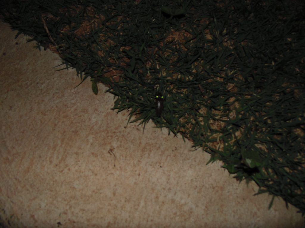 Besouro Pyrophorus noctilucus - FOTO BIOTA DO FUTURO